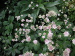 vignette Astrantia major - Astrance