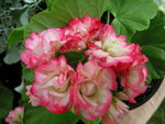 vignette Pelargonium 'Apple Blossom'