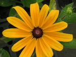vignette Rudbeckia 'Indian Summer'