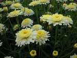 vignette Anthemis