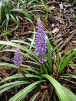 vignette Liriope muscari 'Big Blue'