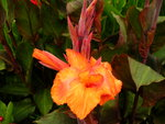 vignette canna orange feuille pourpre