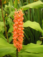 vignette Hedychium densiflorum 'Assam Orange'
