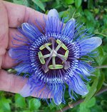 vignette Passiflora 'Purple Haze'