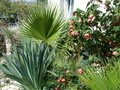vignette Abutilon, beschorneria, washingtonia robusta, yucca rostrata