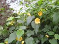 vignette abutilon canary bird
