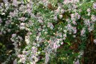 vignette Symphyotrichum lateriflorum 'Lady In Black'