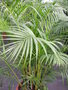 vignette Dypsis lutescens = Chrysalidocarpus lutescens = Areca lutescens