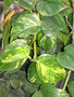 vignette Epipremnum aureum = Scindapsus aureus, pothos, lierre du diable