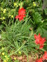 vignette Schizostylis coccinea 'Major'
