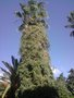 vignette Washingtonia