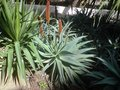 vignette Aloes2