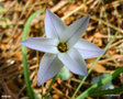 vignette Ipheion uniflorum