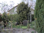 vignette if taxus baccata