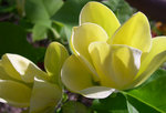 vignette Magnolia 'Yellow Bird' - 1