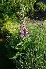 vignette Digitalis purpurea