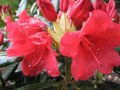 vignette Rhododendron Melville rouge lumineux au 14 05 09