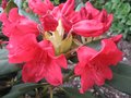 vignette Rhododendron Melville rouge lumineux au 15 05 09