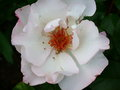 vignette rose Mamie Mathy