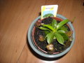 vignette nepenthes