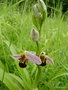 vignette Ophrys abeille , Ophrys apifera, Orchidée sauvage