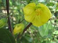vignette Abutilon canary bird gros plan2 au 04 06 09