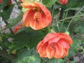vignette Abutilon thompsonii au 14 06 09