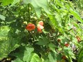 vignette Abutilon thompsonii gros plan au 16 06 09