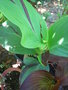 vignette Canna 'Cleopatra' (syn. yellow King Humbert)