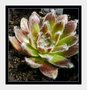vignette Sempervivum White ......