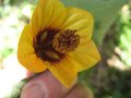 vignette Abutilon kentish belle gros plan1 au 25 06 09
