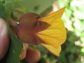 vignette Abutilon kentish belle gros plan2 au 25 06 09