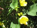 vignette Abutilon Canary bird au 09 07 09