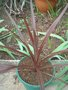 vignette cordyline marron