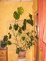 vignette Monstera de 4 ans
