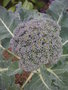 vignette de Brassica oleracea var. italica - Brocoli
