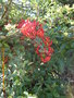 vignette Pyracantha rouge