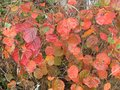 vignette Fothergilla major au 23 10 09