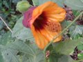 vignette Abutilon Kentish belle au 01 11 09