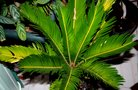 vignette 6)cycas mal en point
