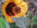 vignette Abutilon kentish belle au 02 12 09