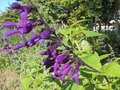 vignette salvia purple majesty