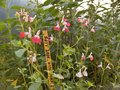 vignette salvia microphylla 'hot lips'
