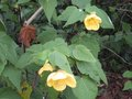 vignette Abutilon canary bird au 15 12 09
