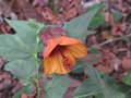 vignette Abutilon kentish belle au 15 12 09
