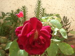 vignette rose rouge