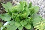 vignette Plantago major 'Rosularis'