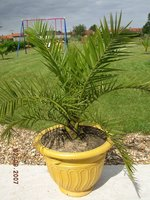 phoenix canariensis en pot mon jardin et palmiers sept2007 les galeries photo de plantes de. Black Bedroom Furniture Sets. Home Design Ideas