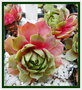 vignette Sempervivum Ashes of Roses 23 10 09 ndc