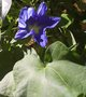vignette ipomoea heavenly blue